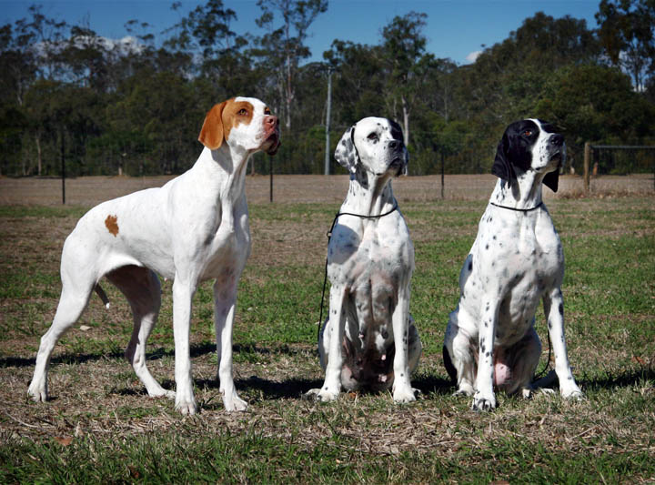 English Pointer Dogs For Sale In Islamabad
